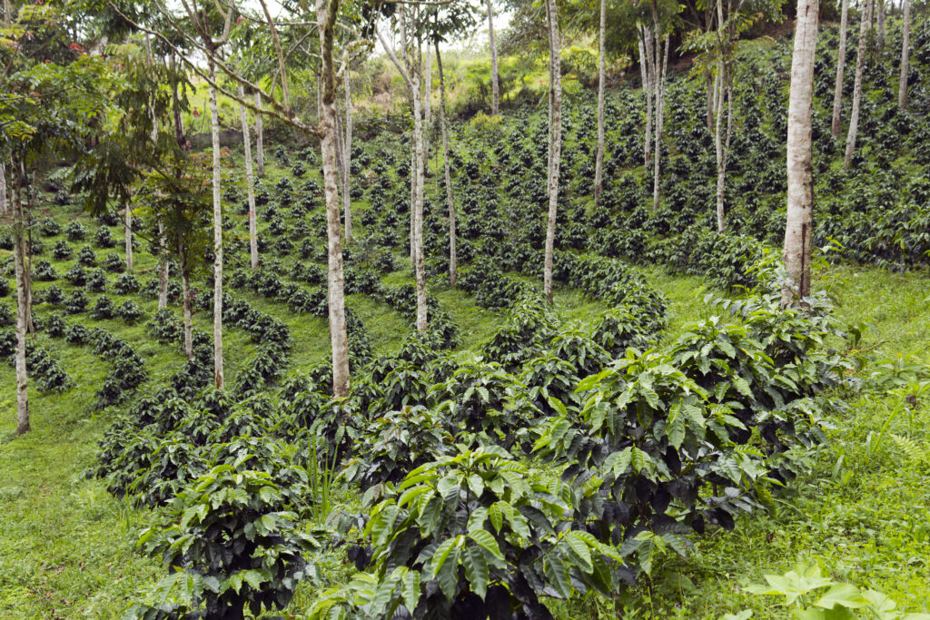 sustainable shade grown coffee bushes